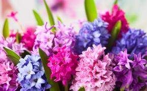 Wallpaper flowers, flowers, hyacinths, hyacinths