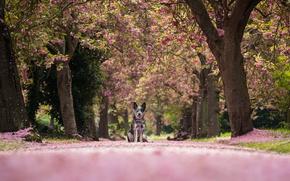 Wallpaper Australian Heeler, Australian cattle dog, alley, nature, trees, petals, dog
