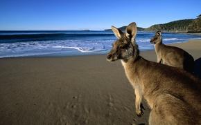 Picture sand, beach, eyes, water, mountains, wool, kangaroo, beautiful, jumpers