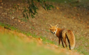 Picture nature, animal, Fox, Fox