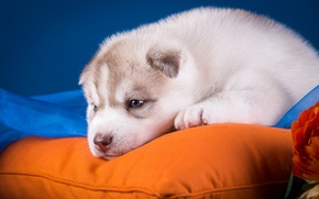 Picture cute, puppy, pillow, husky