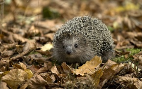 Wallpaper needles, face, foliage, hedgehog
