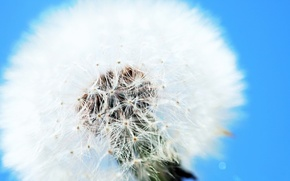 Picture dandelion, Clear, white and blue