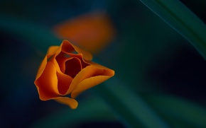 Picture flower, macro, orange, petals, escholzia California