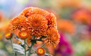 Picture autumn, flowers, nature, orange, chrysanthemum