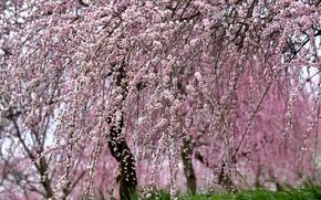 Picture nature, tree, beauty, spring, Sakura, flowering