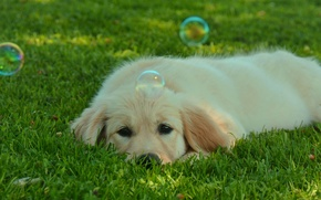 Picture grass, dog, White, Bulbs