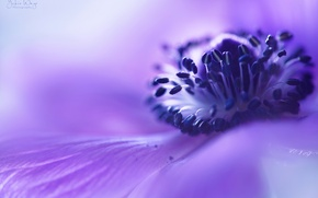 Picture flower, macro, lilac, blur, Anemone