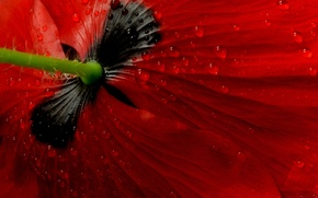 Wallpaper flower, macro, Mac