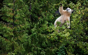 Picture forest, white, leaves, trees, branches, spruce, thicket, bear