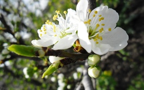 Picture white, the sky, flowers, spring, Apple