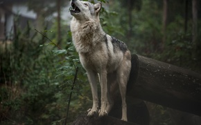 Picture forest, nature, wolf, howling, by fall-cherubim