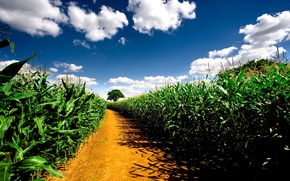 Wallpaper pathway, nature, plants, road, field, the sky, road, corn fields, corn fields, landscape