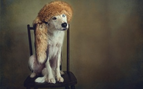 Picture style, retro, hat, portrait, dog, treatment, chair, fur, different eyes, Wallpaper from lolita777, Fox tail