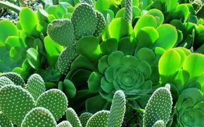 Wallpaper leaves, garden, barb, cacti