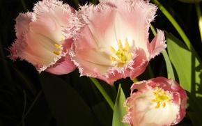 Picture flowers, widescreen, Wallpaper, Tulip, spring, tulips, wallpaper, widescreen, background, the Wallpapers, full screen, HD wallpapers, …
