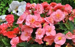 Wallpaper pink, petals, begonia