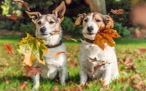 Picture autumn, dogs, leaves, a couple, Jack Russell Terrier