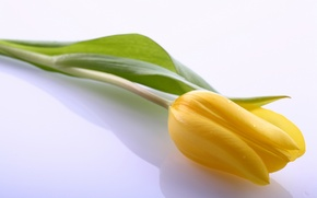 Picture leaves, flowers, bright, yellow, Tulip, beauty, light, petals, yellow, flowers, beauty, petals, bright, Tulips