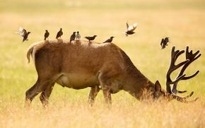 Picture birds, nature, deer