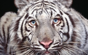 Wallpaper eyes, look, predator, white tiger