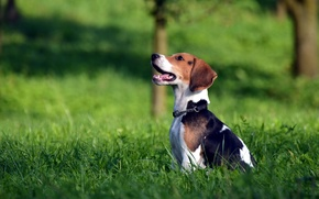 Picture field, dog, Beagle