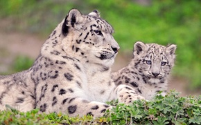 Wallpaper look, IRBIS, snow leopard, kitty, mom