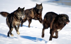 Picture pack, wolves, black