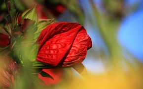 Picture flower, macro, rose, petals, Bud, red
