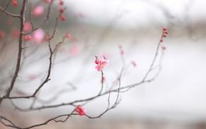 Picture macro, cherry, sprig, pink, spring, Sakura