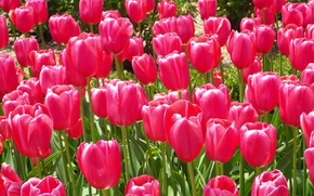 Picture Nature, spring, tulips, nature, flowers, tulips, spring, dark pink, dark pink