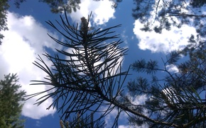 Picture #pine, #sky, #may