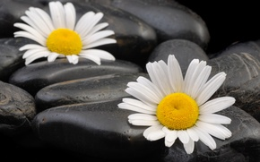 Picture macro, chamomile, pebbles