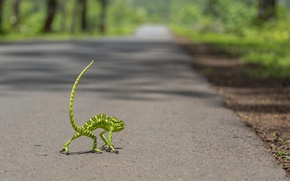 Picture road, chameleon, tail, bokeh