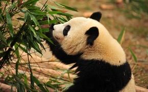 Picture bamboo, bear, Panda