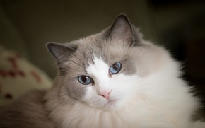 Picture Ragdoll, fluffy, blue eyes, muzzle, look, cat