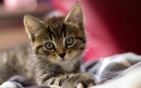 Picture eyes, cat, macro, wool, ears, kitty, face