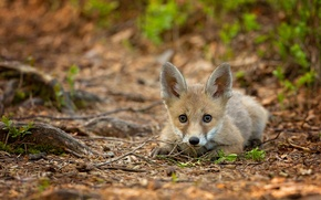 Picture forest, branches, muzzle, lies, bokeh, Fox