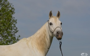Wallpaper horse, white, horse, (с) Oliver Seitz, face