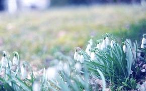 Picture grass, macro, flowers, photo, Wallpaper, spring, blur, snowdrops, primroses, bokeh