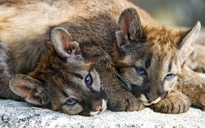 Picture kids, brothers, Puma, faces, Cougar
