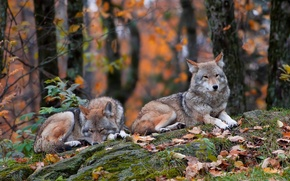 Picture forest, grass, leaves, stones, two, lie, autumn, the coyotes