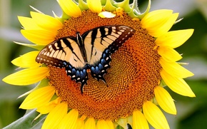 Picture butterfly, sunflower, mahoon