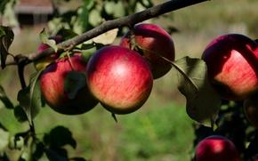 Picture autumn, apples, garden
