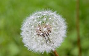 Picture grass, green, dandelion
