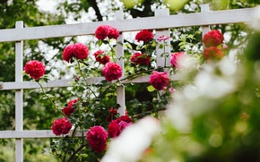 Picture Bush, roses, red