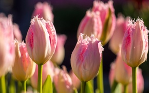 Picture flowers, macro, buds, bokeh, Terry, Tulips, pink, spring