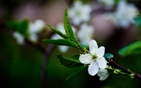 Picture macro, branch, white, flower, leaves, color, blur, greens, flowering, cherry, green, spring