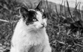 Picture cat, look, mood, village, animals, BW, Vaska
