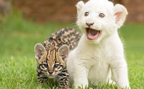 Picture kittens, wild cat, lion, ocelot, cubs
